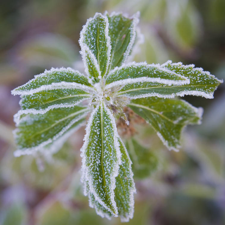 Mint plant rimmed by frost in Yosemite Valley. By Terrence Robertson-Fall 2011