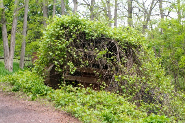 This small structure is covered in well established grapevines. There used to be a small spruce next to it that was killed by the same vines choking out the tree