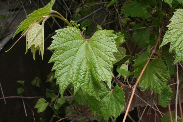 Wild grape leaves, with young flowers in the background