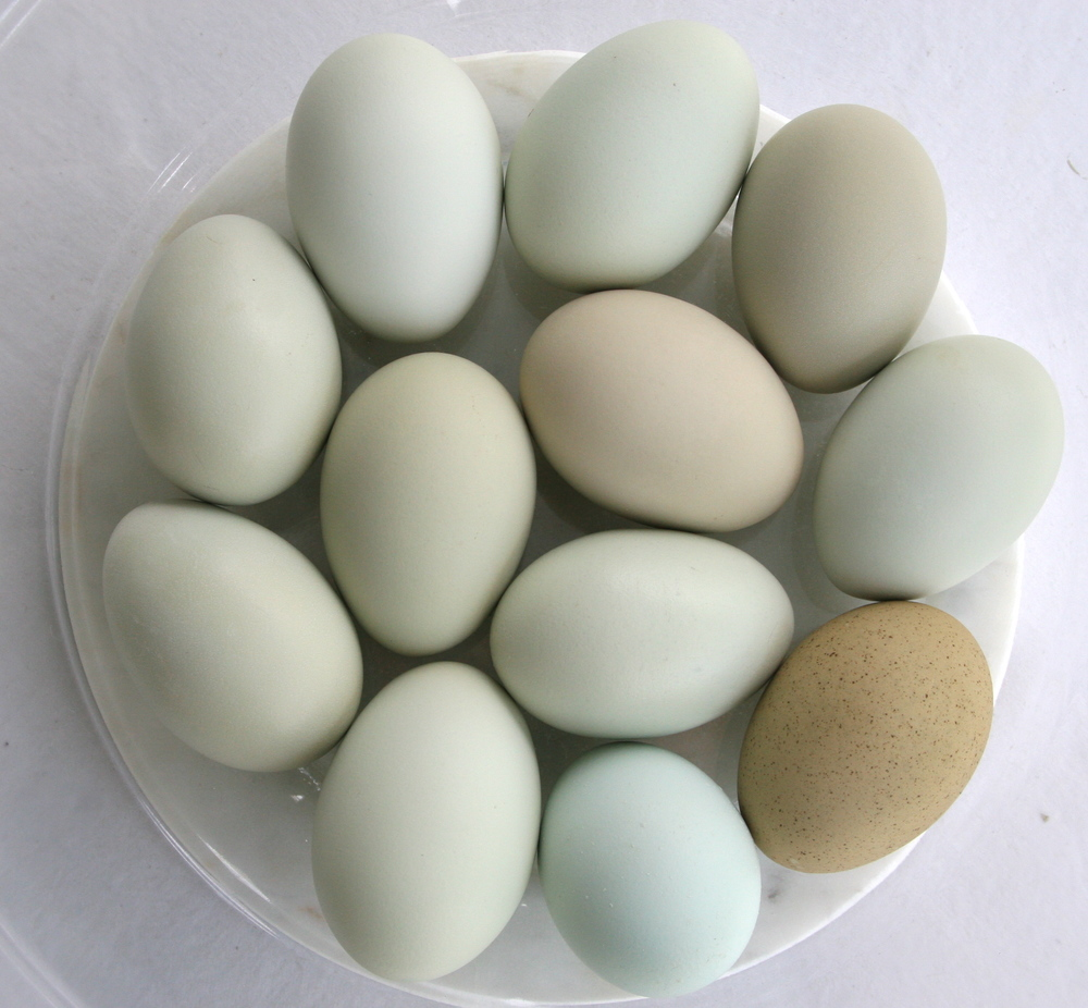 Free range eggs by Shiloh Hills Hens