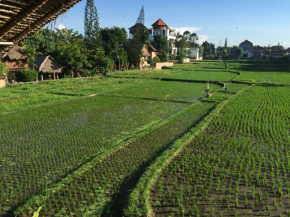 One rice field (all these little houses are the rooms of Tegal Sari)...