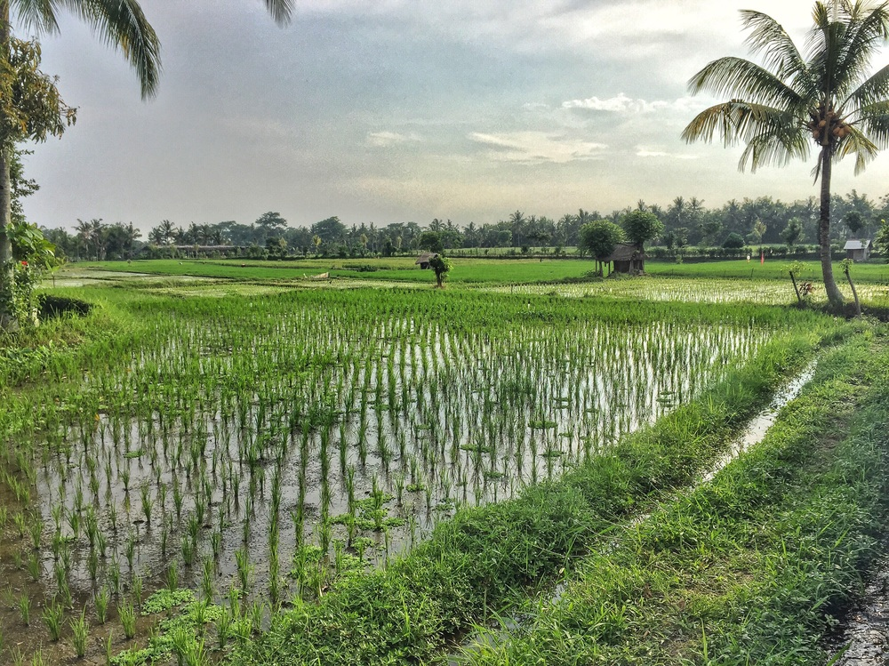 ... and the other rice field