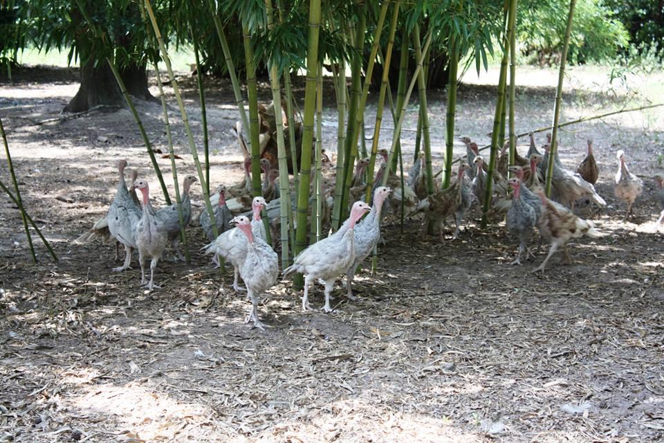 young turkeys.jpg