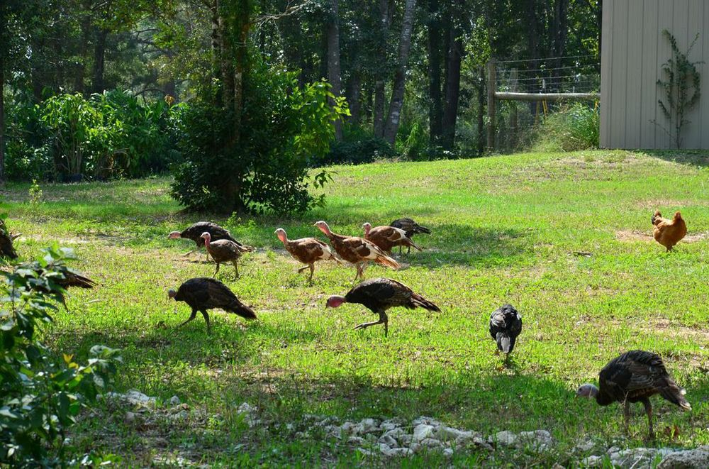 free range turkeys.jpg