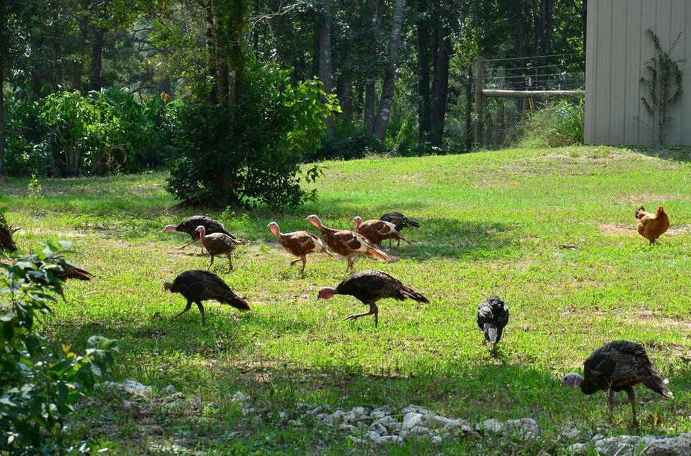 free range turkeys.jpg