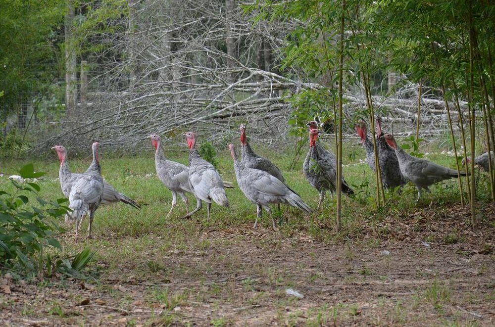 turkeys 2.jpg