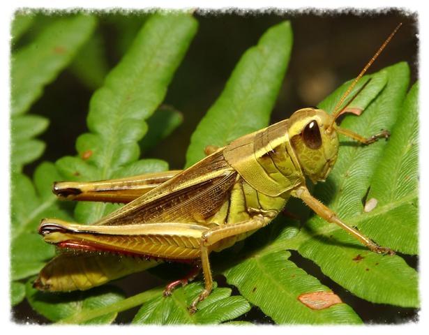 grasshopper[1].jpg