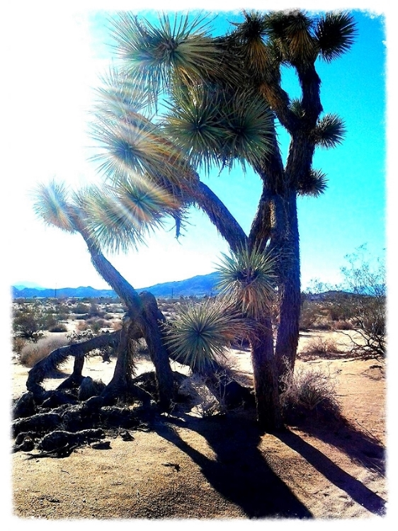 Photo credit: ©amygigialexander 2014/ the beautiful Joshua tree of the Mojave Desert
