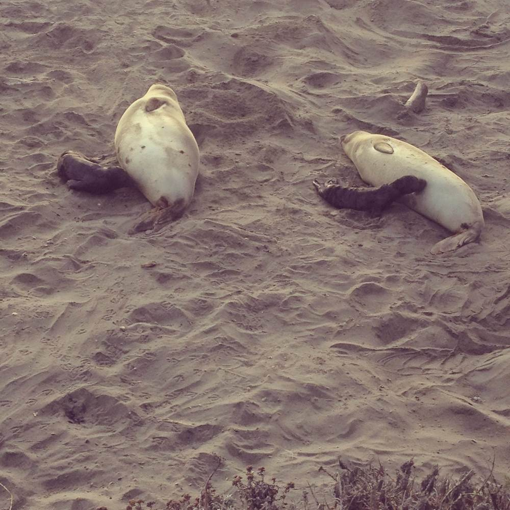 Baby seals getting nice and fat!