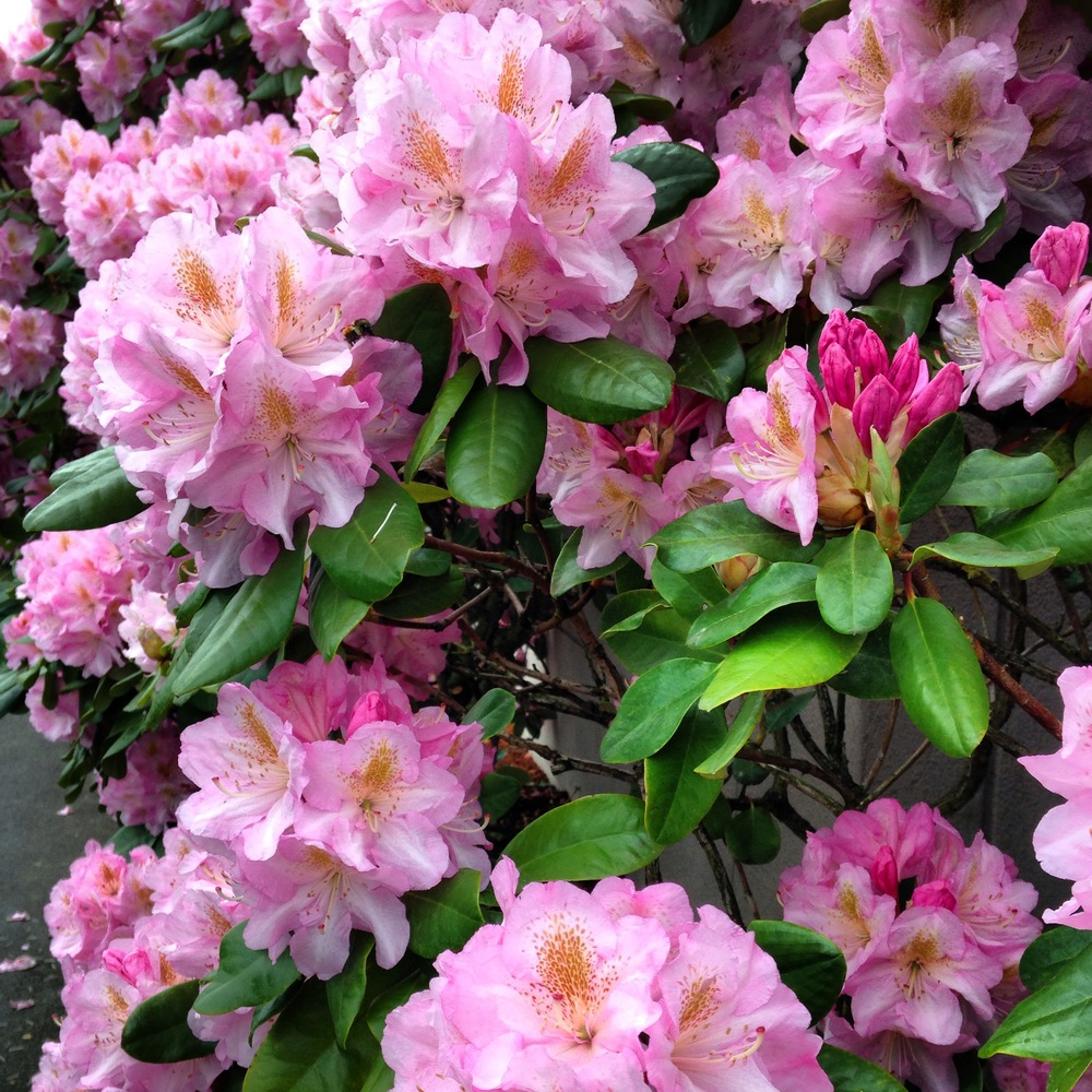 Rhododendrons, going crazy in a Portland parking lot