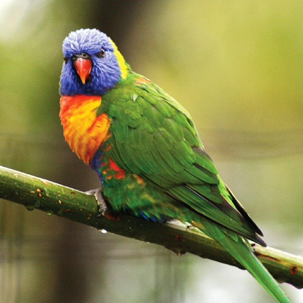 Cherub the Rainbow Lorikeet.