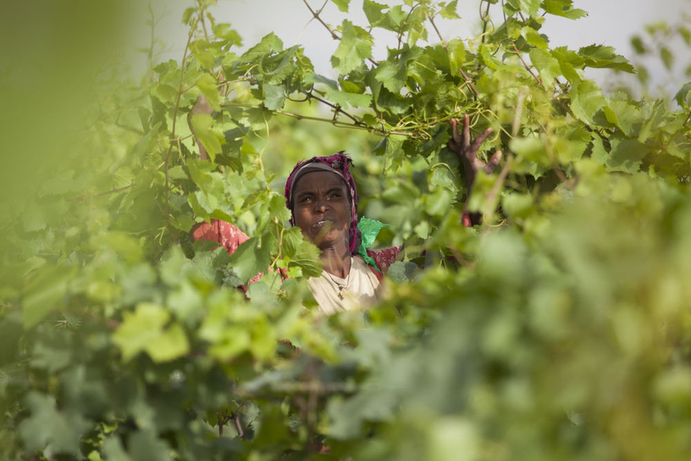 Workers are pictured pruning grape vines in the fields of Castel winery outside the town of Ziway, Ethiopia. Castel Wine has started production of wine in Ethiopia for the past three years. AFP PHOTO / ZACHARIAS ABUBEKER