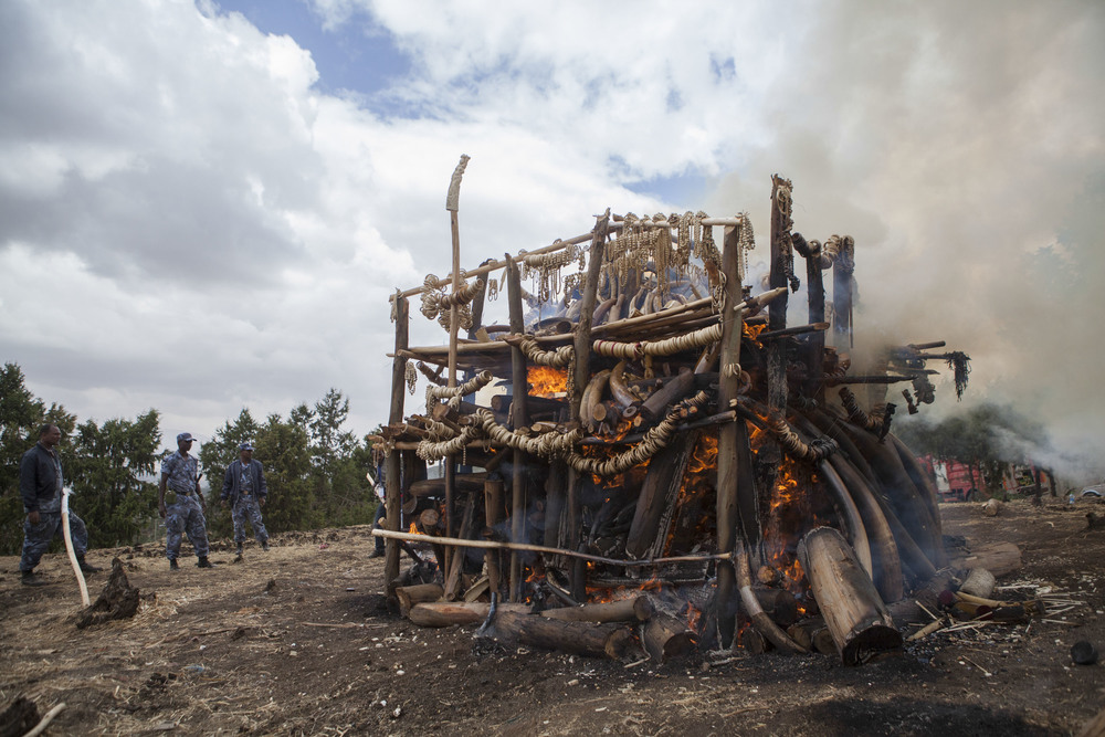 Federal Police of Addis Ababa are pictured looking on to the 6 ton mass of ivory as it burns outside of Addis Ababa on 20 March 2015. The ivory has been collected from seizures at Addis Ababa Airport, as well as from illegal poaching in Ethiopia.  AFP Photo / Zacharias Abubeker