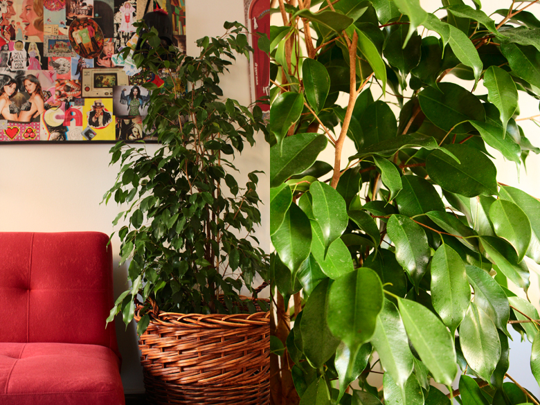 how+to+grow+a+ficus+benjamin+indoors+%25283%2529.jpg