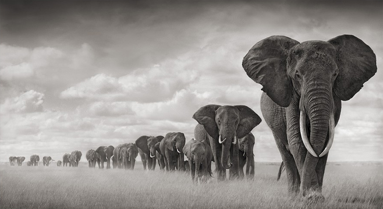 Elephants Walking Through Grass, Amboseli, 2008
