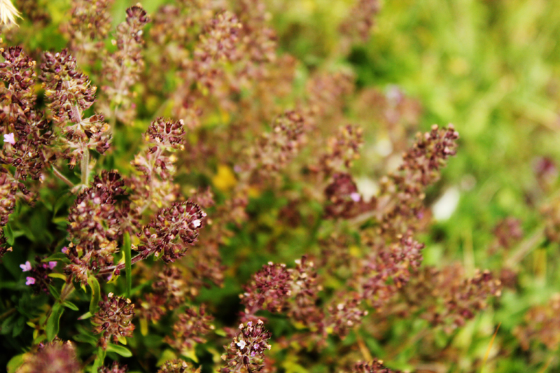 Wild oregano flowers