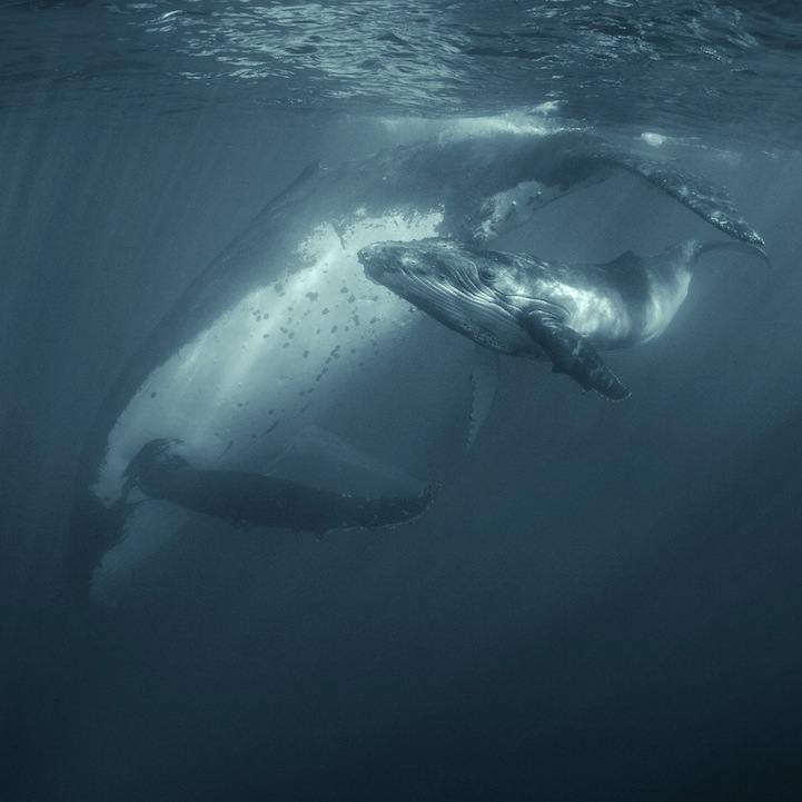 Humpback Whales by Darren Jew (1)