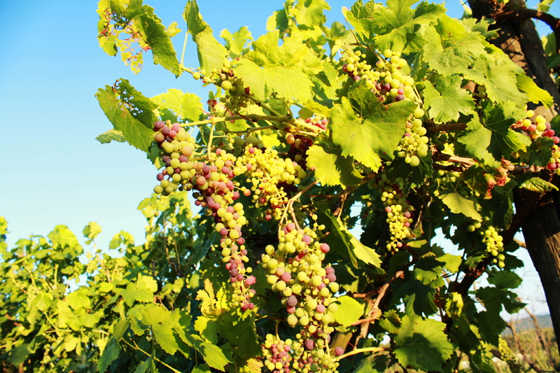 σταφύλια τον Αύγουστο, Συγκομιδή φράουλας, φραμπουάζ, βατόμουρων και άλλων μούρων