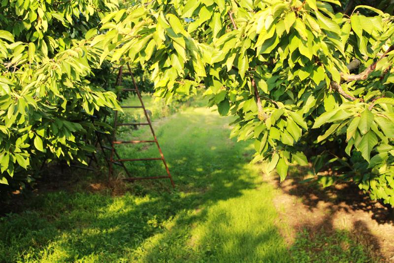 χωράφια με κερασιές