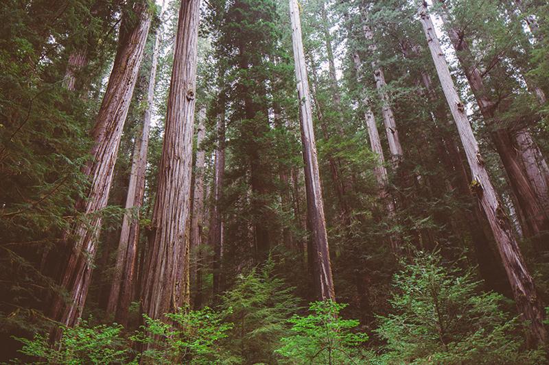 Το εθνικό πάρκο του Redwood στην Αμερική 1