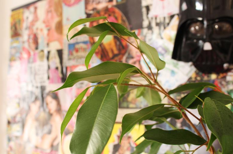 How to Grow a Ficus Benjamin Indoors