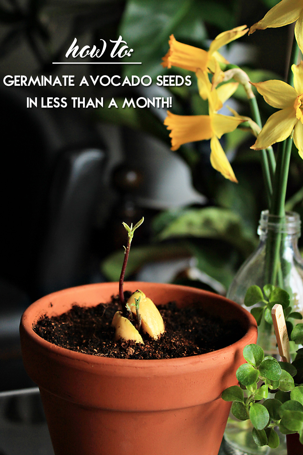 How to germinate an avocado seed in less than a month! | from IN WHIRL OF INSPIRATION