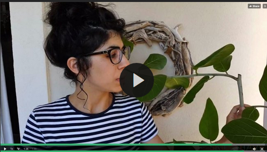 Despina Kortesidou - How to propagate a ficus lirata (or another plant) through aerial rooting.jpg