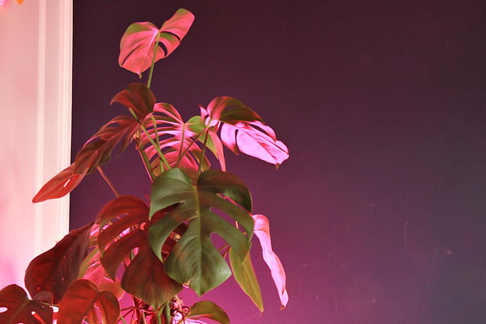 Και μια φωτογραφία με τα ροζ φώτο που χρησιμοποιούν στα θερμοκήπια! Τα ανάβουμε τις γκρίζες μέρες και της προσφέρουμε τον χαμένο ήλιο.
