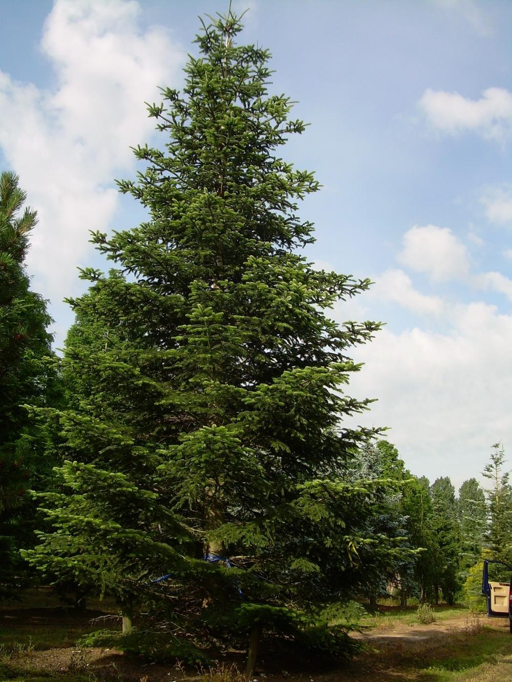 Abies Nordmanniana H10001100cm juni 08.JPG
