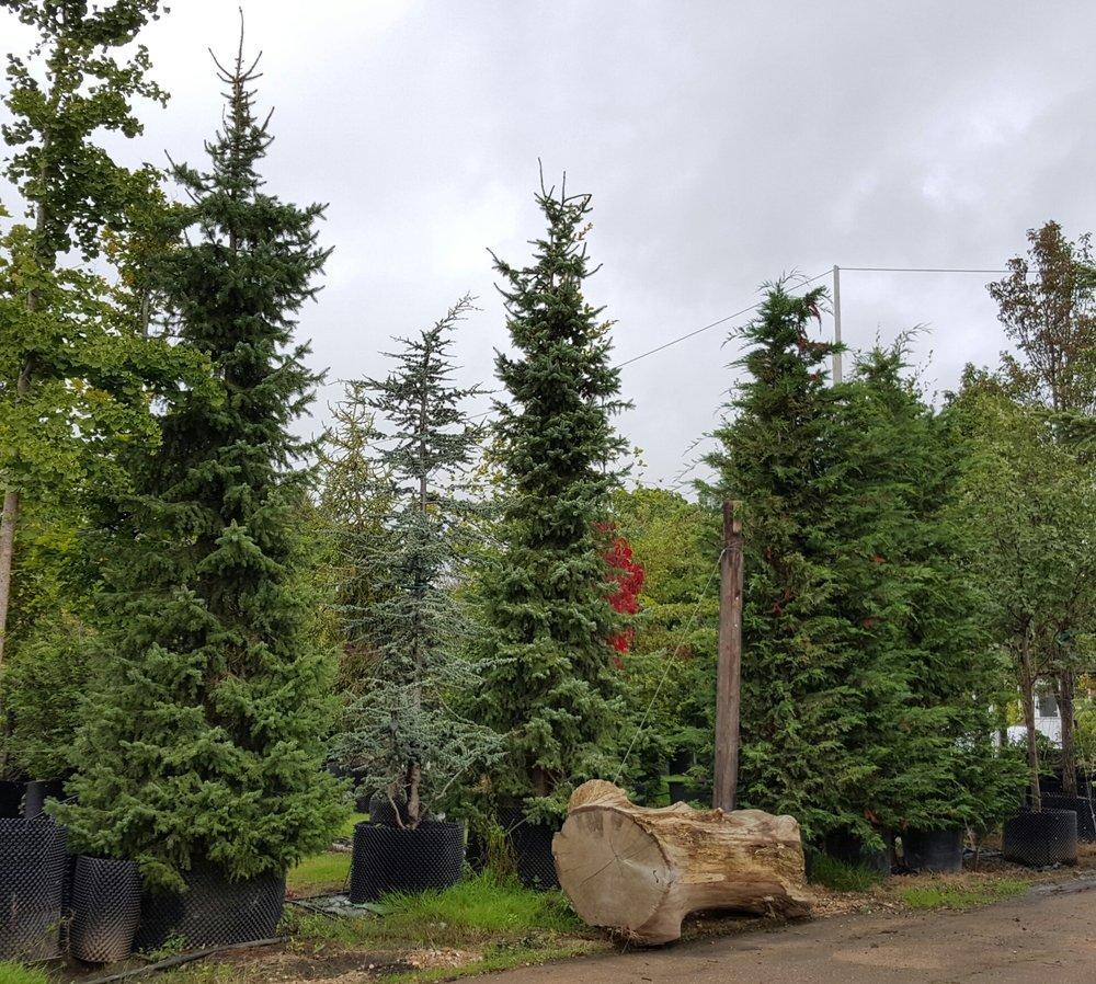 Evergreens 6m