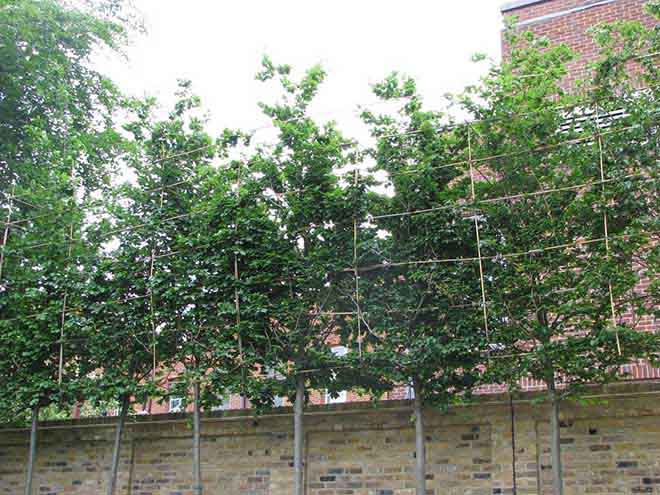 Beech+30-35cm+girth,+pleached+1+year+after+planting.JPG