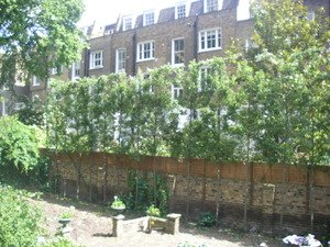 Pyrus+call+chanticleer++2+year+pleached+iii.jpg
