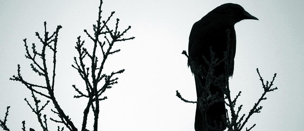 cropped-crow1.jpg
