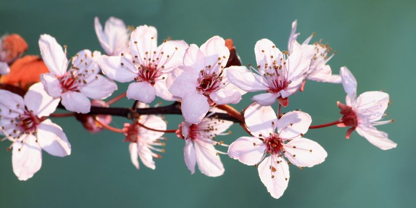 Cherry-Blossoms-cropped.jpg