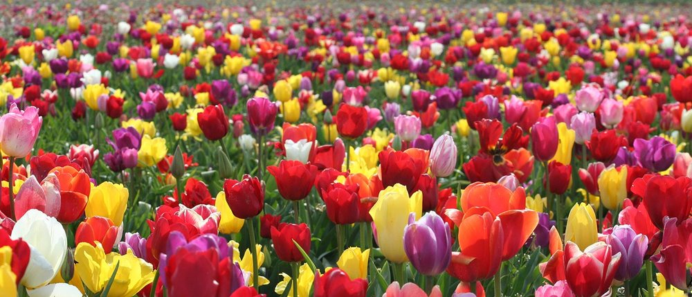 field-of-tulips1.jpg