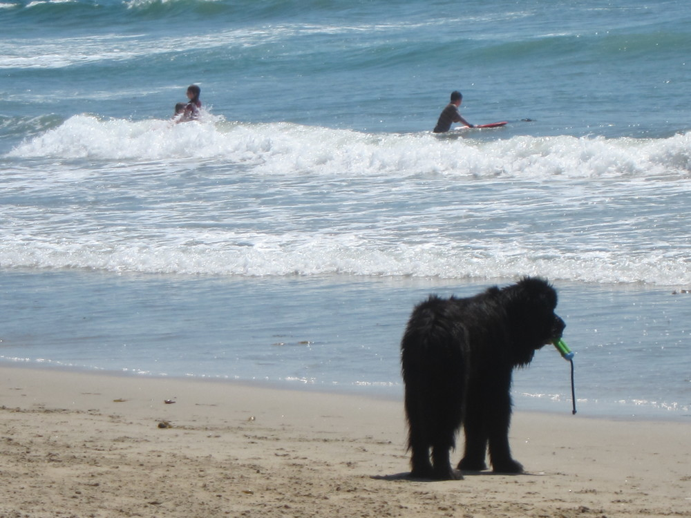 Do: Bring your mammoth Newfoundland to entertain beach-goers.