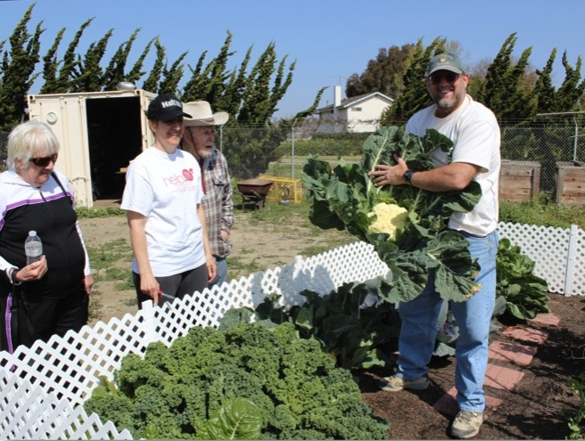 Huntington Beach Community Garden Master Gardener Gerry Button shows off his impressive cauliflower harvest from his organic backyard garden.  (Photo courtesy of Gerry Button)
