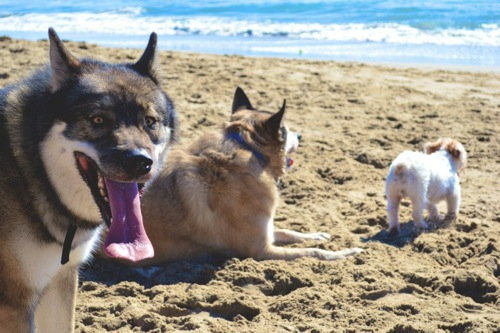 Fun in the sun at dog beach (L to R: Wahya, Taj, Smash) (Photo by Arielle Warren)