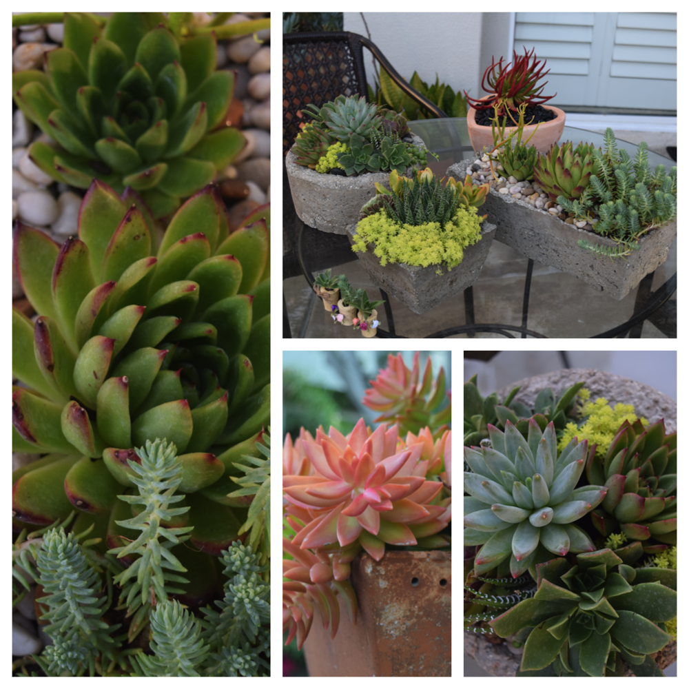Suzanne Fahey's own backyard succulent oasis  (Photos by Allie Foley)
