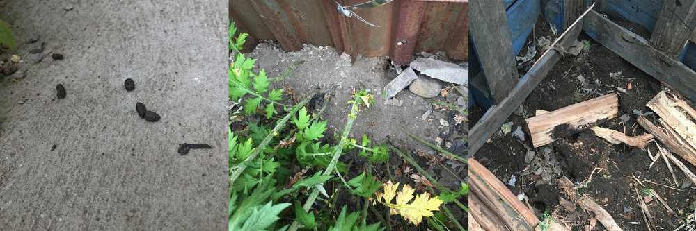 Image: Evidence of rats in the EPA urban weeds garden
