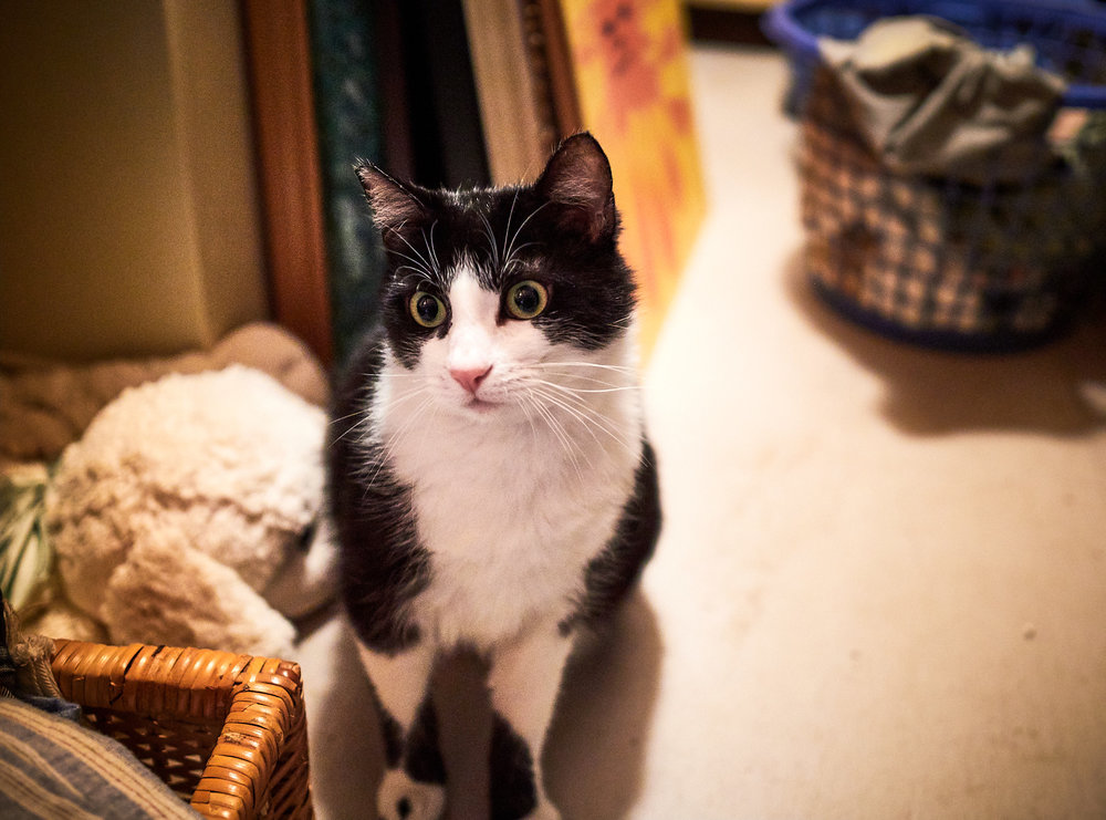 Sylvester the Cat - This is the photograph of her that I captured back in March during my visit to her temporary home. By this time, her whiskers had grown back, and her paws had healed.