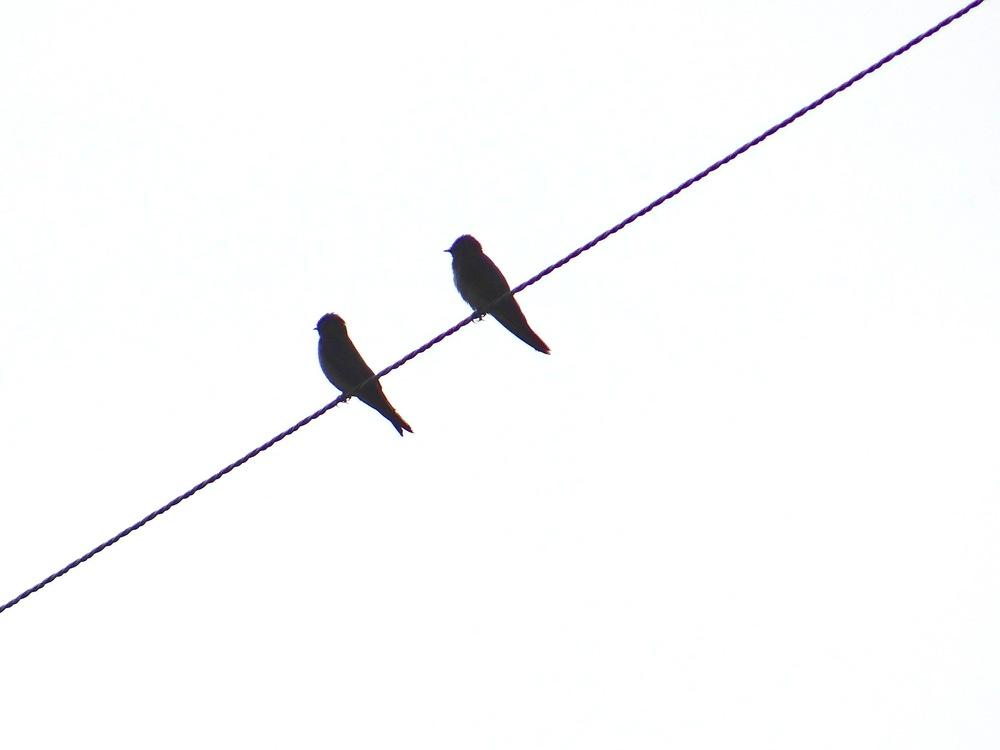 swifts.JPG