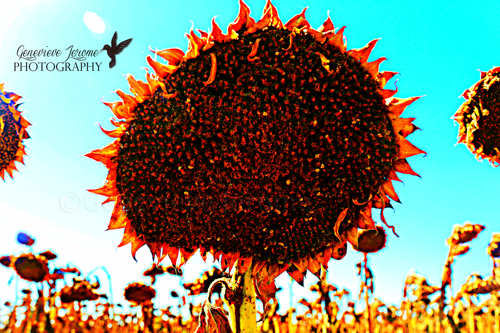 "Lady G's Photo of the Day:  ""Sunflowers on Fire""  This photo seems poignant with the first official day of Autumn. Now hopefully it starts getting colder.   Happy Sunday!   ©Genevieve Jerome Photography 2013"