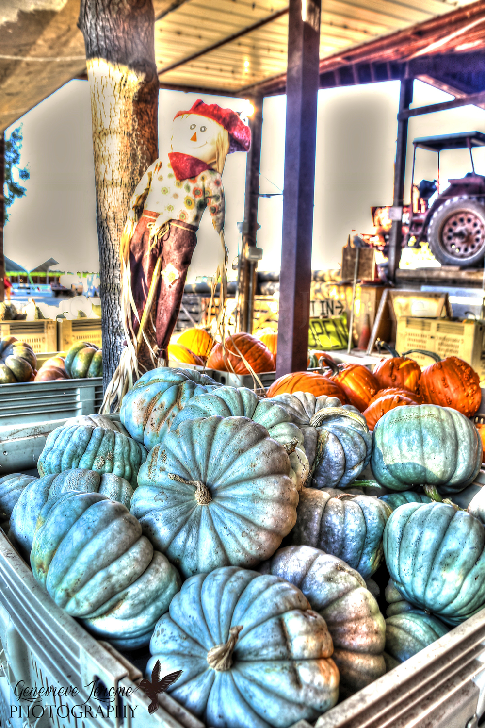 """Lady G's Photo of the Day:  """"Pumpkins""""  I shot this a couple of weeks ago at Davis Ranch in Sloughhouse, Calif. I know the owners. ;-) I'm obsessed with pumpkins, and well its almost October so I thought this would be a good photo to display today. Plus it sort of looks like a painting which I'm a huge fan of.    © Genevieve Jerome Photography 2013"""