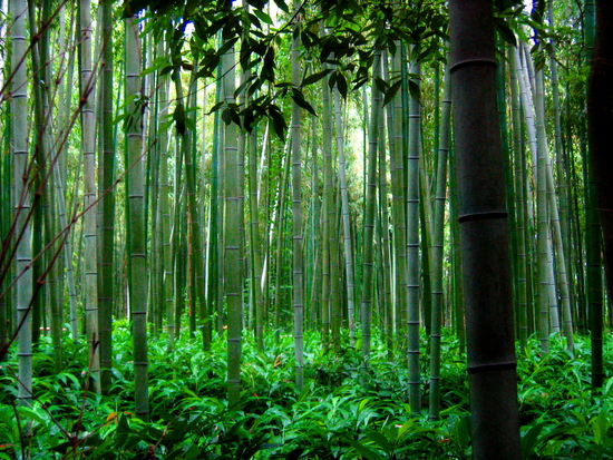 A Chinese Bamboo Forest