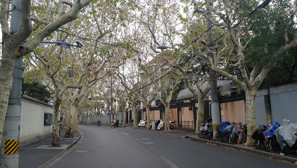 Plane trees lining Yongfu Road in the Former French Concession (Xuhui District)