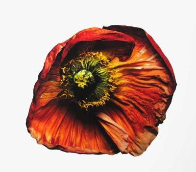 16 - Iceland Poppy (B)537325782-normal.JPG