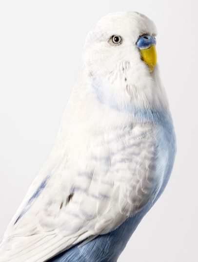 2-Spencer-Budgerigar-406x539.jpg