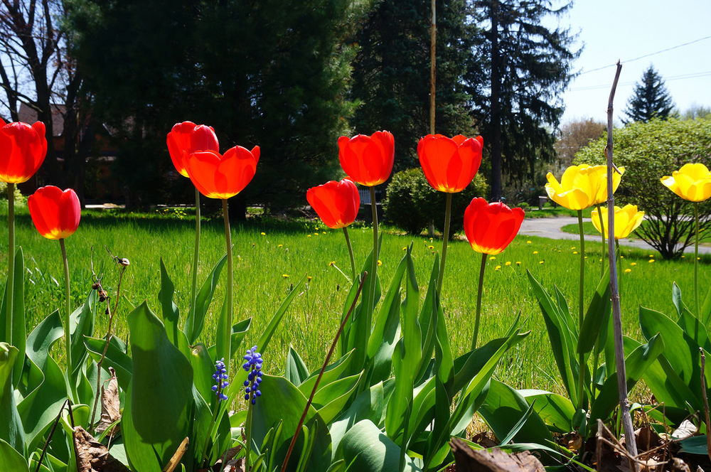 The tulips are out in all their glory :)
