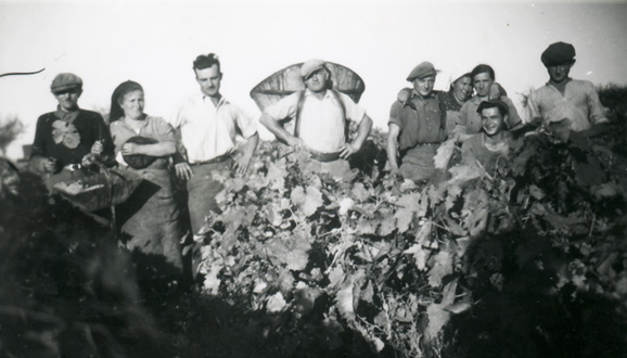 Vineyards harvest at Domaine LACLIE in 1962